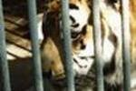 Тигр напал на трехлетнего ребенка